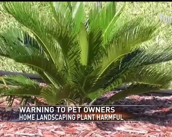 Sago Plant harmful to plants_79967736-159532