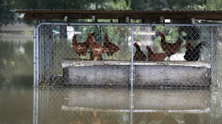 louisiana flood chickens.JPG