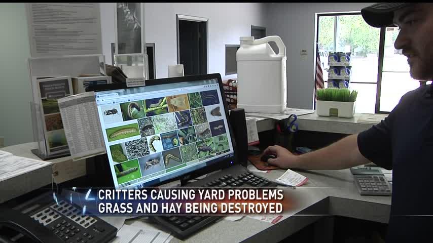 army worms destroying yards_02802796-159532