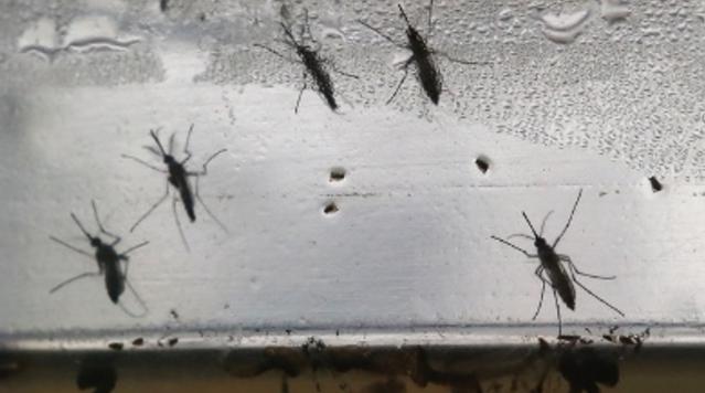 zikamosquitos_1471893676070.png