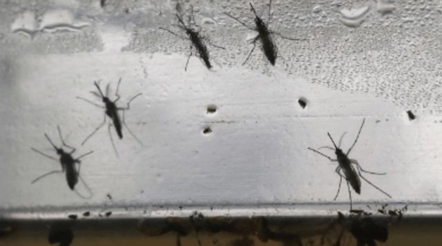zikamosquitos_1480363915034.png