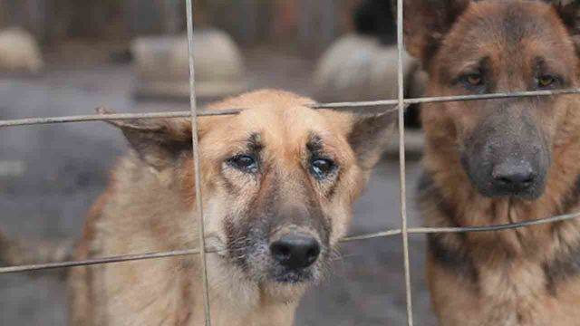German Shepherds_1546781258805.jpg_66659247_ver1.0_640_360_1546797229783.jpg.jpg