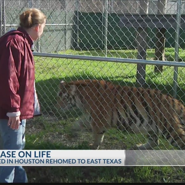 Tiger_in_East_Texas_0_20190214002508